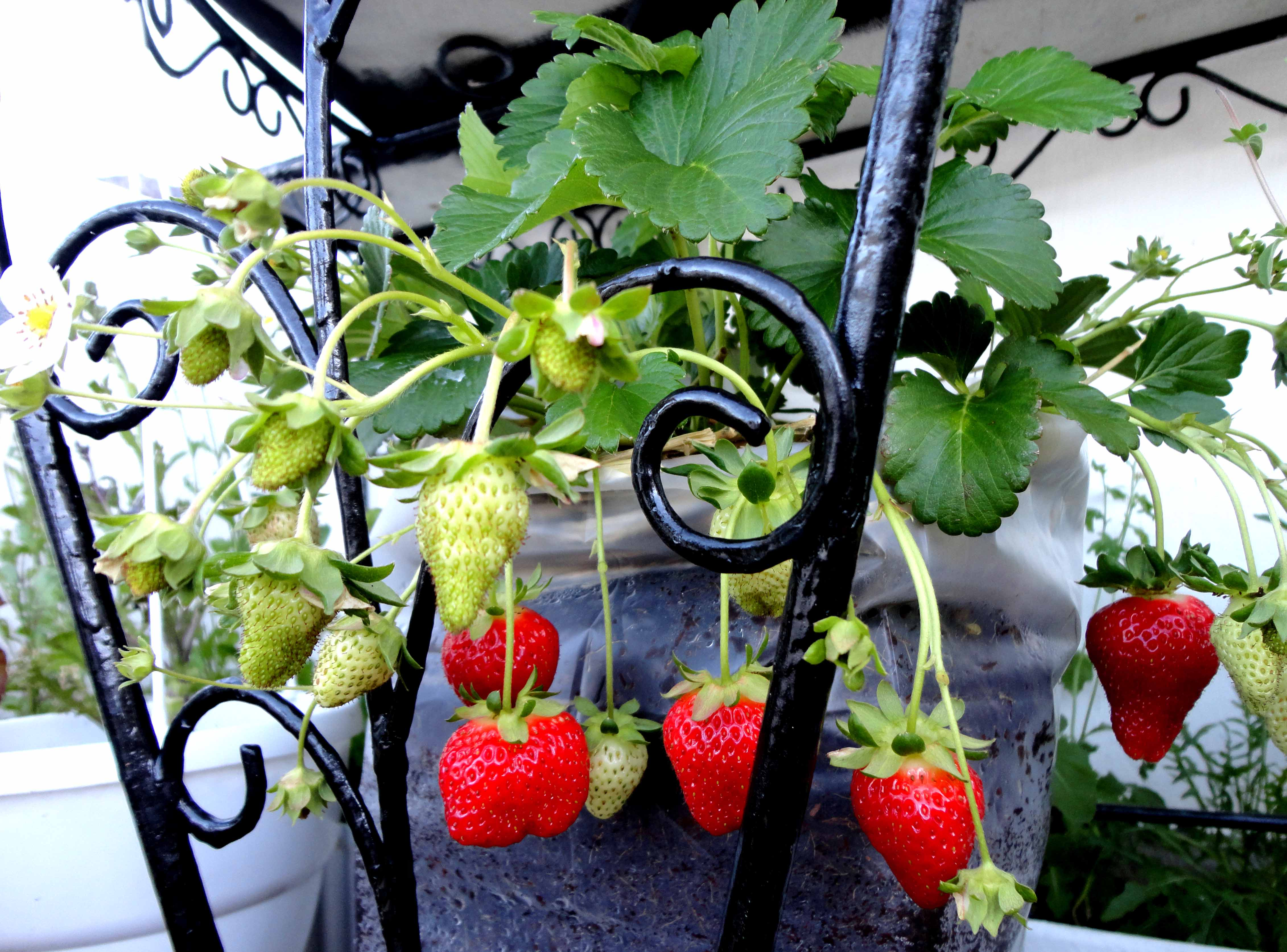 How To Fall In Love With Growing Strawberries