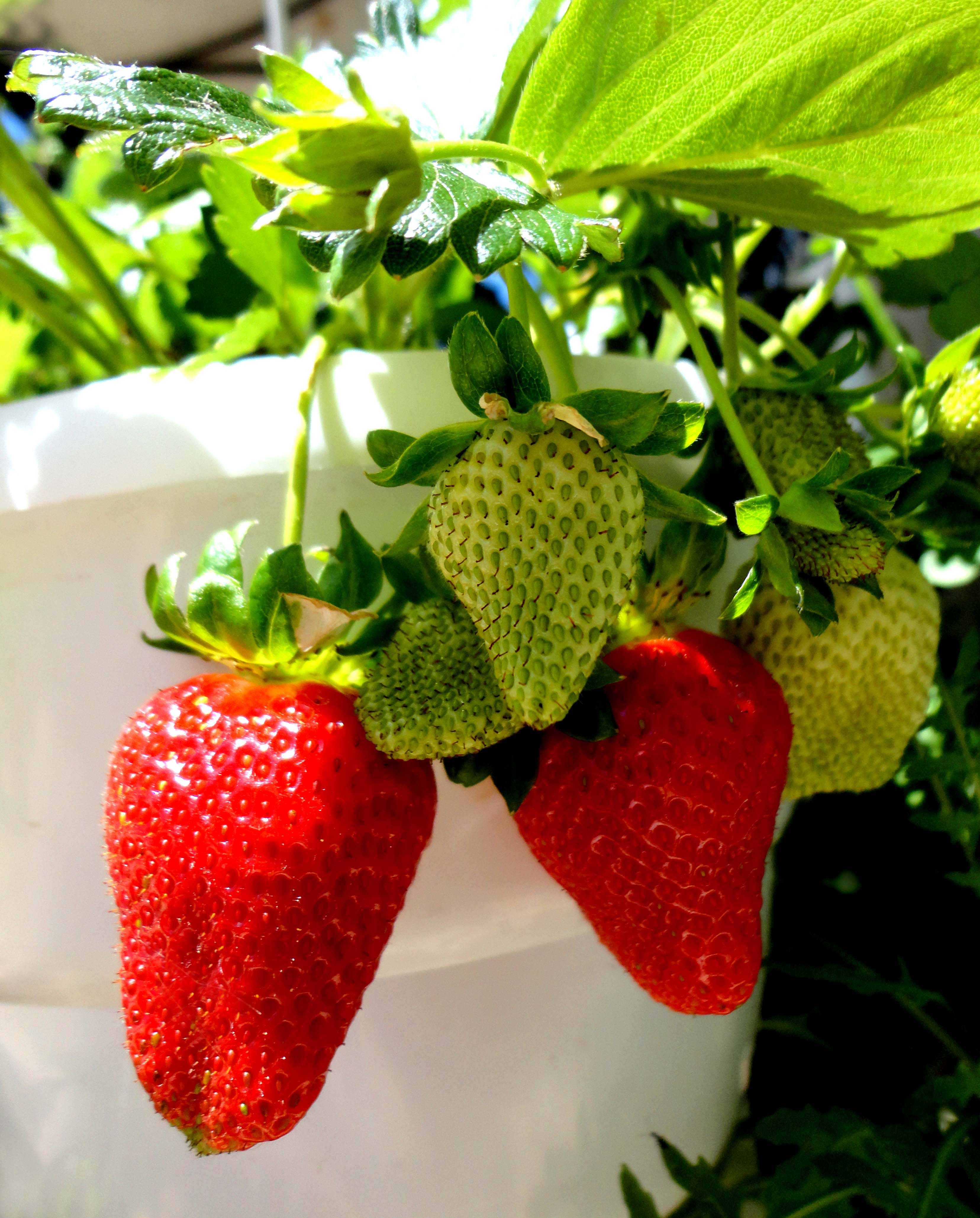How to plant strawberries After a culture, plant strawberries When planting strawberries with a mustache 90